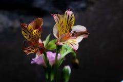 Flores de corte lirio-frescas peruanas Fotos de archivo libres de regalías