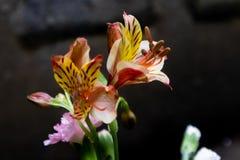 Flores de corte lirio-frescas peruanas Fotos de archivo