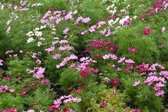 Flores de Cosmea fotos de archivo
