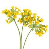 Flores de Cowslip Fotos de Stock Royalty Free