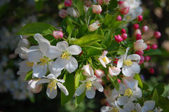 Flores de Crabapple Foto de archivo