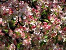 Flores de Crabapple Imagenes de archivo