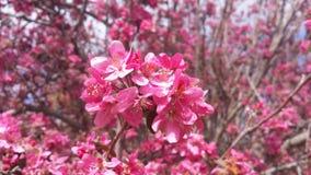 Flores de Crabapple Imagem de Stock