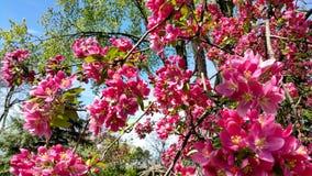 Flores de Crabapple Fotografía de archivo