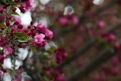 Flores de Crabapple na mola fotografia de stock royalty free