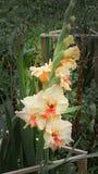 Flores de creme delicadas do tipo de flor com gotas de orvalho no jardim imagens de stock royalty free