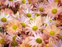 Flores de crisantemos Imagen de archivo libre de regalías