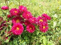 Flores de Crysanthemum, crysant cor-de-rosa marrom Fotografia de Stock
