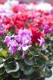 Flores de Cyclamen Imágenes de archivo libres de regalías