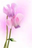 Flores de Cyclamen Foto de Stock Royalty Free