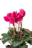 Flores de Cyclamen Imagens de Stock Royalty Free