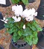 Flores de Cyclamen Flores de adeus Flores e folhas bonitas fotos de stock royalty free