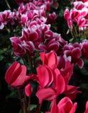 Flores de Cyclamen - duas variedades Imagem de Stock Royalty Free