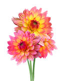 Flores de Dahlia Autumn aisladas en blanco Imagen de archivo libre de regalías