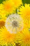 Flores de Dandellion imagem de stock