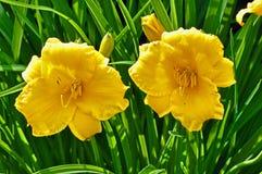 Flores de Daylily Imagens de Stock