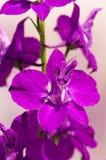 Flores de Delfinium Imagen de archivo libre de regalías