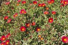 Flores de Delosperma a planta carnuda Vermelho-florescida chamou Delosperma imagens de stock royalty free