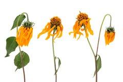 Flores de desvanecimento do cosmos Fotografia de Stock Royalty Free