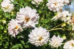 Flores de Dhalia Imágenes de archivo libres de regalías