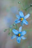 Flores de Dianella foto de archivo libre de regalías
