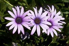 Flores de Dimorfoteca Fotografía de archivo