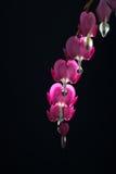 Flores de Ditsentry en un fondo negro fotos de archivo libres de regalías