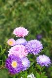 Flores de diversos asteres hermosos Imagenes de archivo