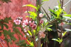 Flores de Durazno Stockfoto