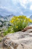 Flores de Durmitor Fotos de archivo libres de regalías