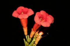 Flores de Eccremocarpus en noche Imagen de archivo