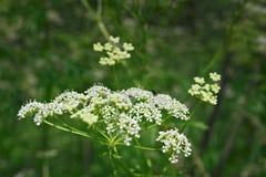 Flores de encaje blancas de goutweed Imágenes de archivo libres de regalías