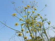 Flores de erva-doce Imagens de Stock Royalty Free