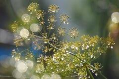 Flores de erva-doce, aneto fotos de stock