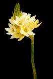 flores de Estrela--bethlehem foto de stock