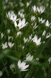 flores de Estrela--bethlehem fotos de stock