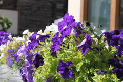 Flores de Fiori Fotografia de Stock Royalty Free