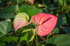 Flores de flamingo cor-de-rosa Fotografia de Stock Royalty Free