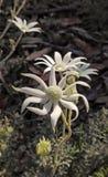 Flores de Flanel del australiano Foto de archivo