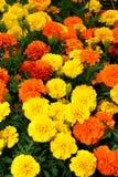 Flores de Flora Bright Yellow Orange Red Imagen de archivo libre de regalías