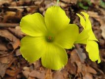 Flores de florescência amarelas nas madeiras foto de stock royalty free