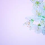 Flores de florescência bonitas da mola Fotos de Stock