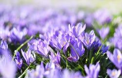 Flores de florescência bonitas do açafrão Foto de Stock Royalty Free