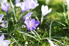 Flores de florescência bonitas do açafrão Imagens de Stock