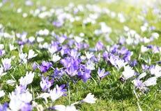 Flores de florescência bonitas do açafrão Fotografia de Stock