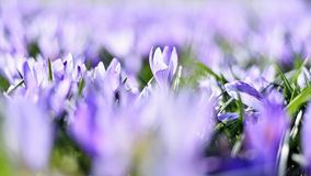 Flores de florescência bonitas do açafrão Fotografia de Stock Royalty Free