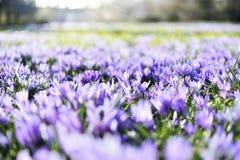 Flores de florescência bonitas do açafrão Fotos de Stock