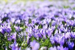 Flores de florescência bonitas do açafrão Foto de Stock