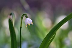 Flores de florescência bonitas dos flocos de neve da mola (carpaticum do vernum do leucojum) Imagem de Stock