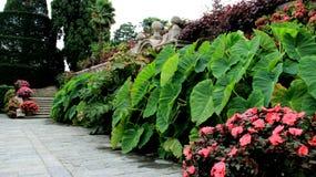 Flores de florescência com folhas do Caladium imagens de stock